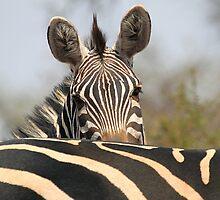 Plains Zebra Portrait, Akagera National Park, Rwanda, by Carole-Anne Fooks by Carole-Anne