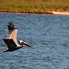 Pelican by Anita  Smith