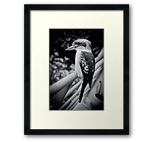 Kookaburra - Survey Framed Print