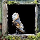 Barn Owl ( Tyto alba ) by Norfolkimages