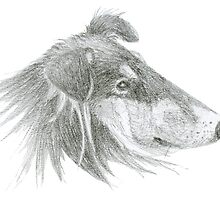 Rough Collie Lassie Profile Sketch by Jane McDougall