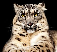 Snow Leopard by Norfolkimages