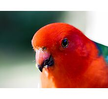 Australian King Parrot (male) Photographic Print