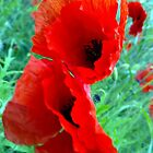 """Last of the poppies"" by Merice  Ewart-Marshall - LFA"