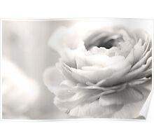 Sepia Ranunculus Poster