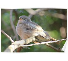 Fiscal Shrike Fledgling, taking a nap Poster