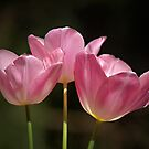 Tulips of Pink by Bev Pascoe