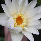 Water Lilly by Lesley  Hill
