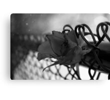 rose in winter Canvas Print