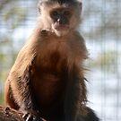 Monkey Stare by William Hallatt