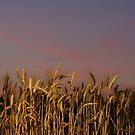 Palouse Wheat at Sunset by Paul Morgan