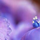 A blue crown ... by IngeHG