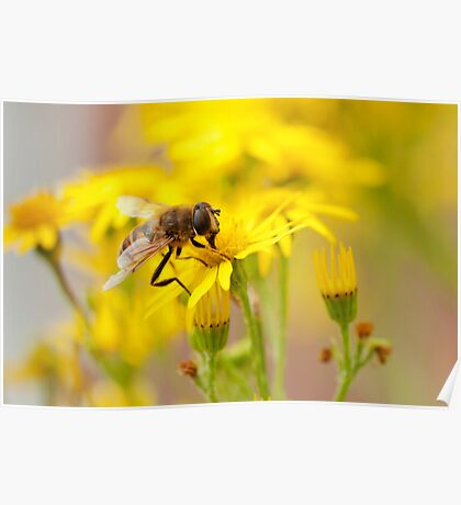 Eristalis Hoverfly Poster
