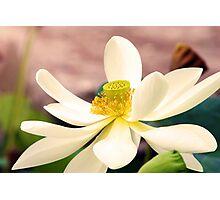 Water Lotus Photographic Print