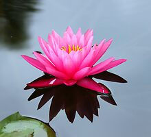 Water Lily by Diane McDonald