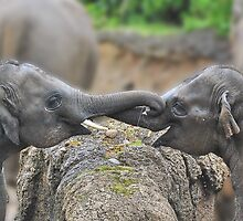 Baby elephants playing by bullardm2001