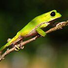 Bolivian Monkey Tree Frog (Phyllomedusa boliviana) - Bolivia by Jason Weigner