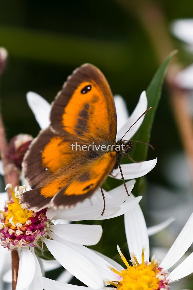 Gatekeeper Butterfly by theriverrat