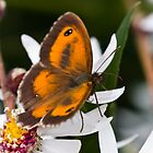 Gatekeeper Butterfly by theriverrat