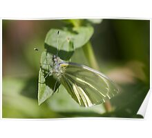 Green-Veined White Butterfly Poster