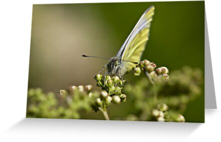 Green-Veined White Butterfly by theriverrat