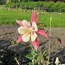 Aquilegia in the evening sun by orko