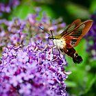 Hummingbird Clearwing on Butterfly Bush by Steve Borichevsky