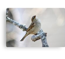 House sparrow poses for the camera Canvas Print