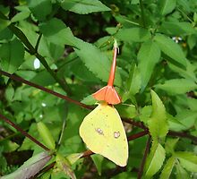 Cloudless Sulphur butterfly in Mahogany Vine by May Lattanzio
