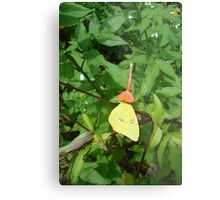 Cloudless Sulphur butterfly in Mahogany Vine Metal Print