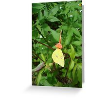 Cloudless Sulphur butterfly in Mahogany Vine Greeting Card