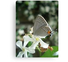 Gray Hairstreak on Jasmine Canvas Print