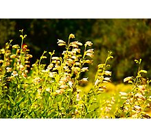 Wildflowers, Napa Photographic Print