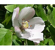 Quince flower Photographic Print