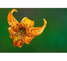 Tiger Lilly Photographic Print