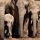 Family - Elephants of Addo Elephant Park by Nicole Shea