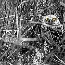 Burrowing Owl by MKWhite