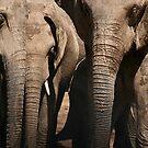 Elephants of Addo Elephant Park by Nicole Shea