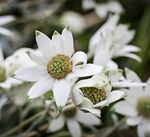 Flannel Flower by Urbanfringe