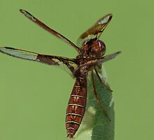 Eastern amberwing dragonfly by jozi1