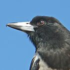 Our Friend Butch - the Pied Butcherbird by Graeme  Hyde