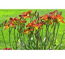 Summer Daylilies  Photographic Print