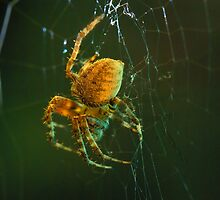 Orb-weaver spider by JohnDSmith