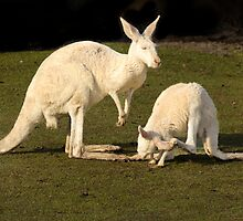 White Kangaroos by Sandra Chung