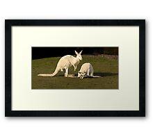 White Kangaroos Framed Print