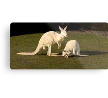 White Kangaroos Metal Print