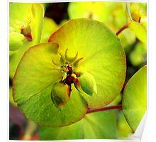 Euphorbia Poster