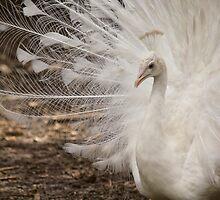 Peacock Strut by Sandra Chung