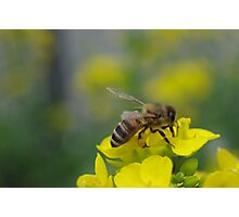 Bee on the yellow Flower Photographic Print