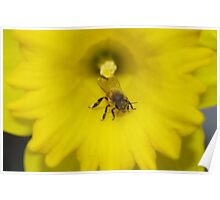 Bee on a daffodil flower Poster